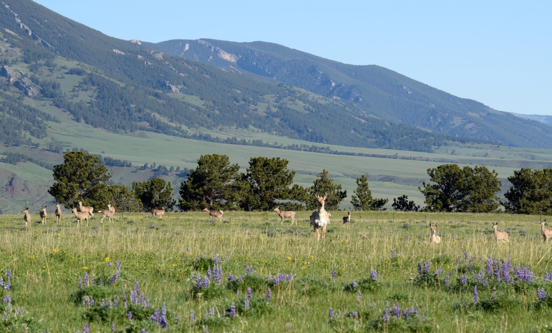 Pronghorn & Lupines