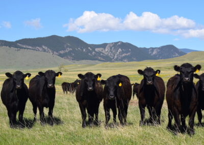 Upper French Creek Ranch heifers