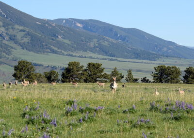 Pronghorn & Lupine