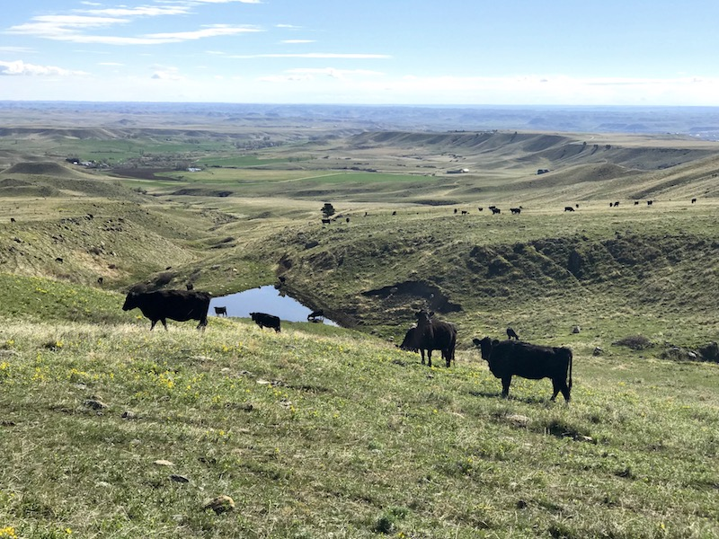cows & reservoir at Upper French Creek Ranch