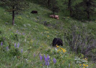Bulls on the Mountainside