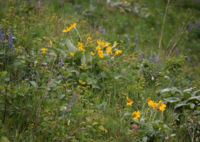 Balsamroot & Lupine Wildflowers