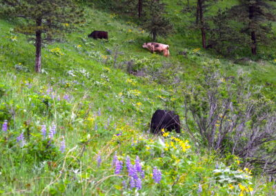 Bulls in Flowers