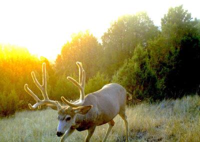 Mule Deer Morning