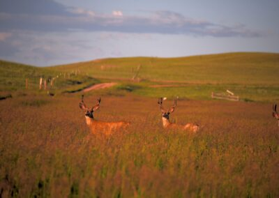 Mule deer buck evening