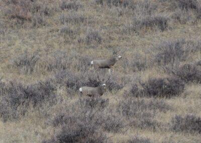 Muley bucks